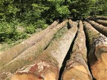 2018年5月份供应比利时白橡原木测量原木中间含皮