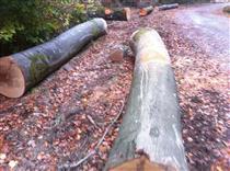 2018年11月法国林场直供榉木原木、旋切级榉木原木