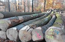 2018年12月供应德国榉木原木,直径大树干直中径圆
