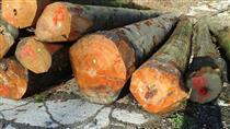 2019年2月供应欧洲榉木原木,欢迎老板实地验货