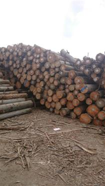 2018年下半年供应旋切级玫瑰桉木原木,可提供FSC证书