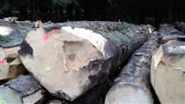 尚高木业2018年11月供应法国云杉原木,可用于建筑、飞机、枕木、电杆、舟车、器具、家具等
