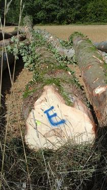 2018年9月尚高木业供应欧洲新伐枫木,林场直供欢迎定购
