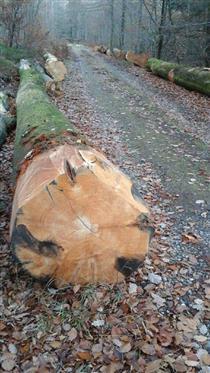 2018年11月下旬供应比利时榉木原木,新砍伐材旋切级榉木原木