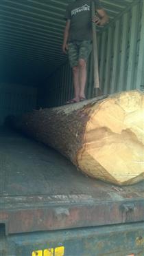 2018年尚高木业装车出货大径云杉原木 防腐耐磨云杉木材加工