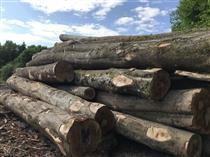 2018年5月份供应大径级法国榉木原木